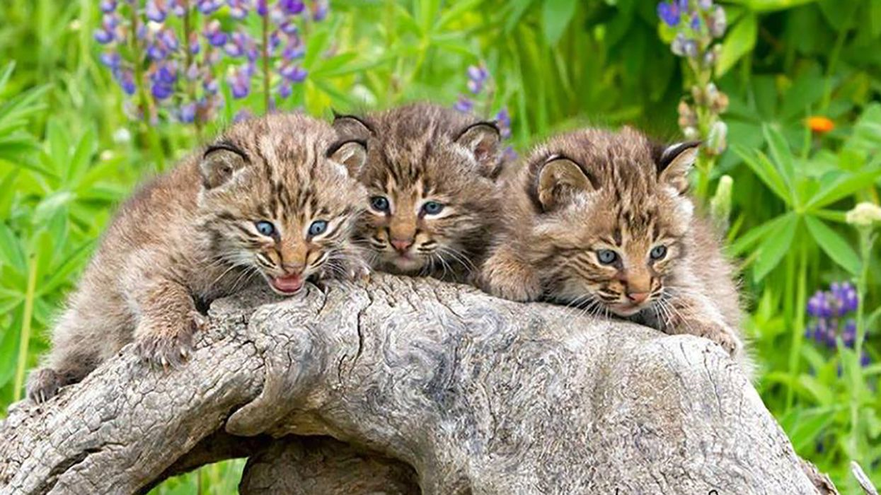 Concerned Ohioans Unite Against Bobcat Trapping Plan