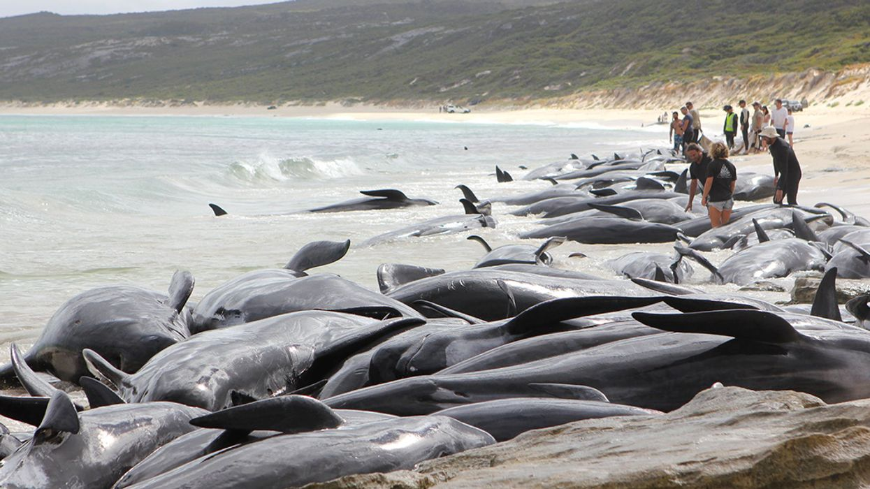 More Than 140 Whales Dead After Mass Stranding in Western Australia