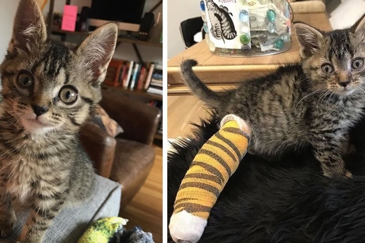 3-legged Cat Saved From a Fence Defies All Odds - She Can Do Anything and More.
