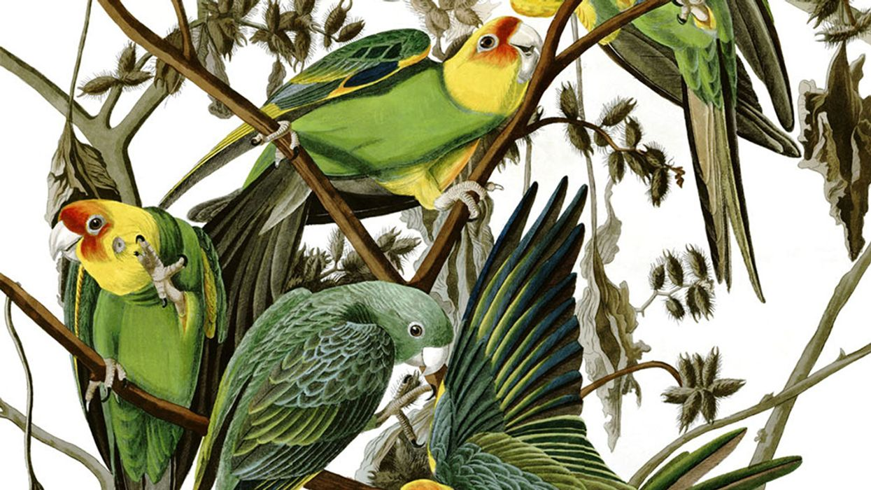 The Tragic Story of America's Only Native Parrot, Now Extinct for 100 Years
