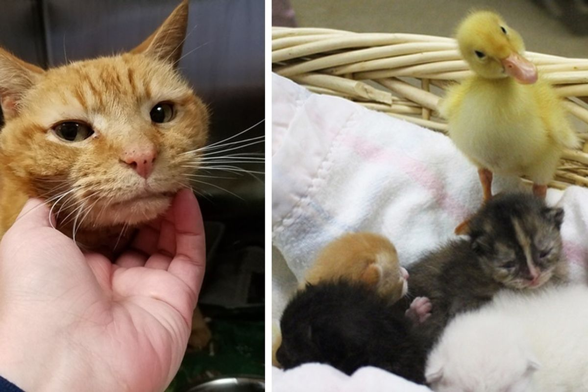 Saving One Shelter Cat Turns Into 12 More Lives Rescued, Including a Duckling.