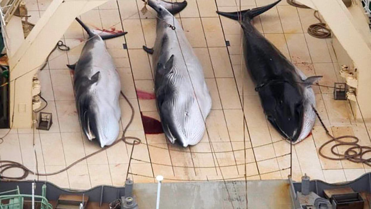 Another 333 Minke Whales Killed by Japanese Fleet