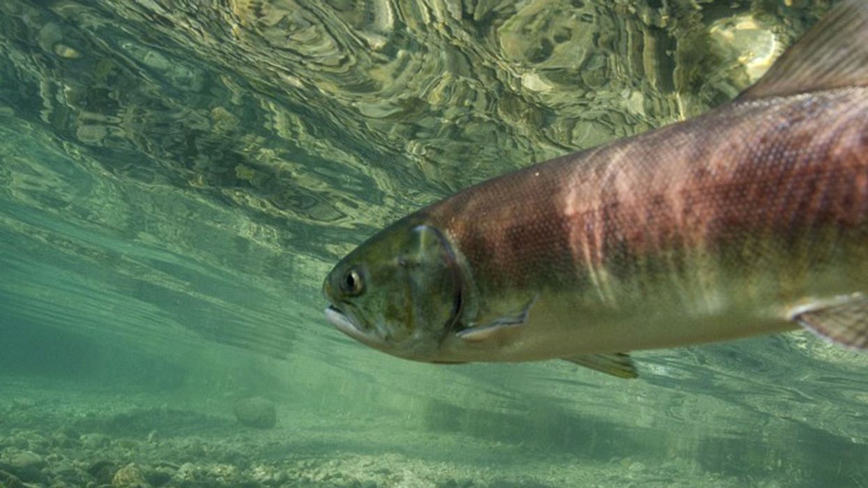 Appeals Court Affirms Order to Spill More Water Over Dams to Help Salmon Survive