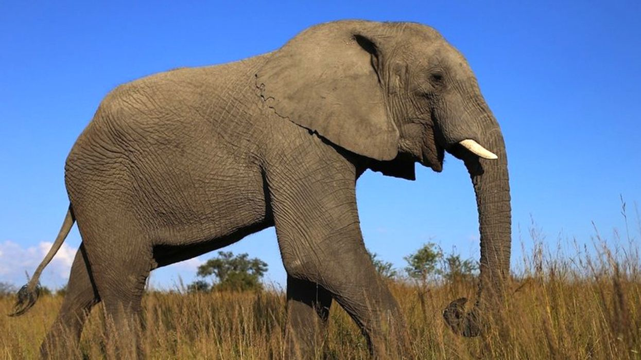 Trump Will Now Consider Elephant Trophy Imports on 'Case-By-Case Basis'