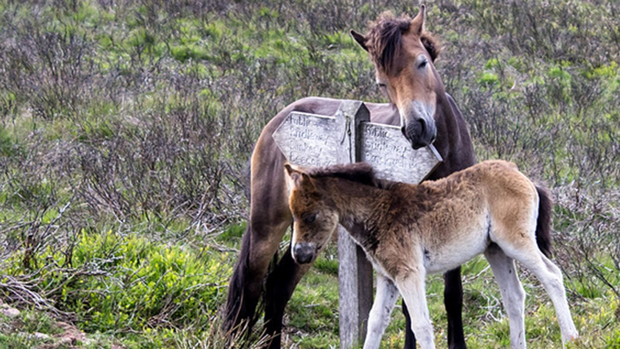 Back From the Brink: The Exmoor Pony