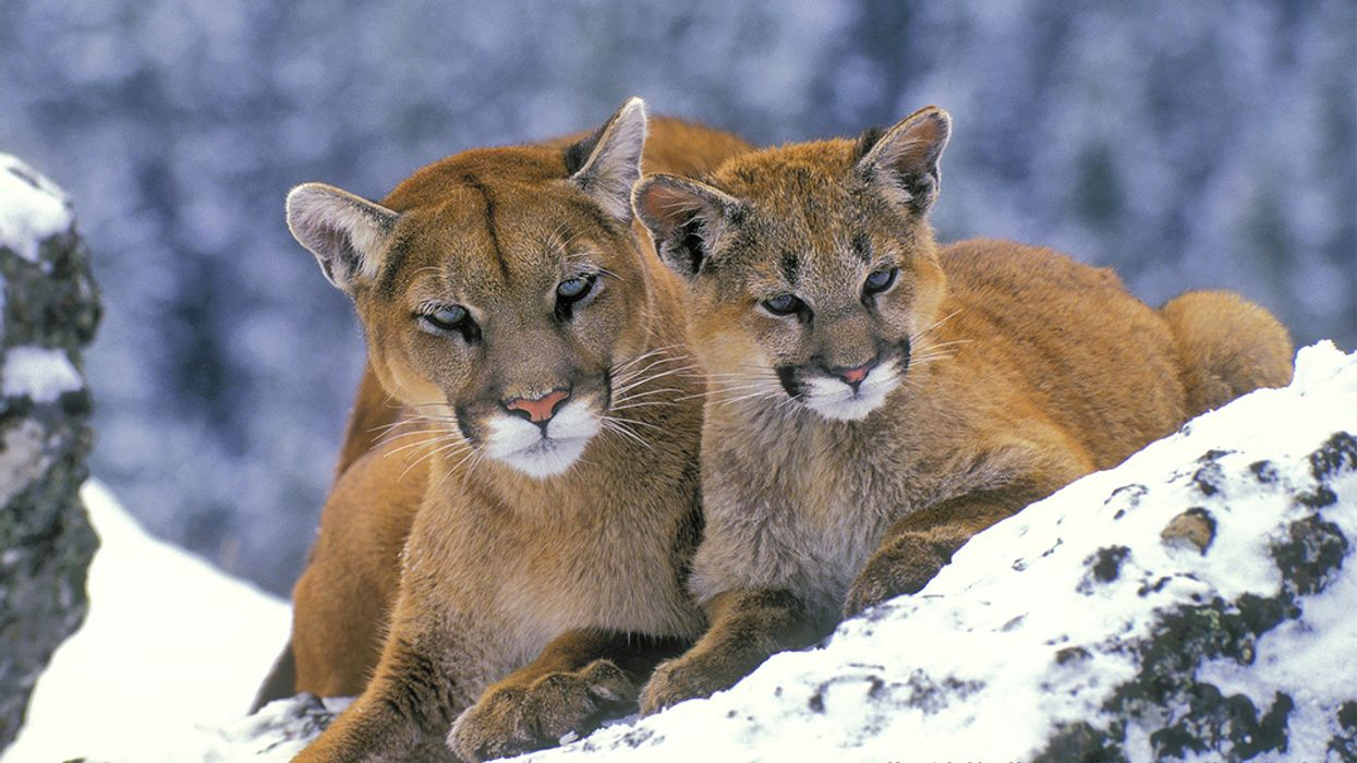 Plan to Kill Colorado Mountain Lions, Black Bears Prompts Lawsuit Against U.S. Fish & Wildlife