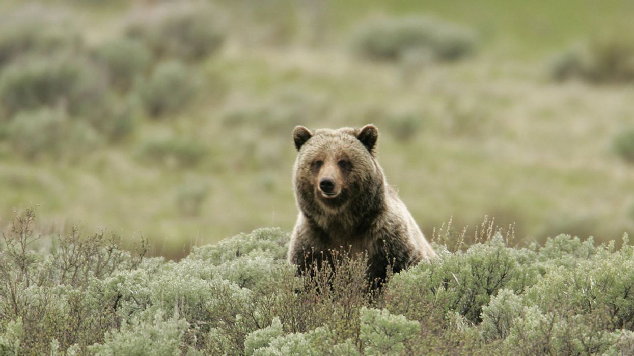 Wyoming Proposes Grizzly Bear Hunt for First Time in Four Decades