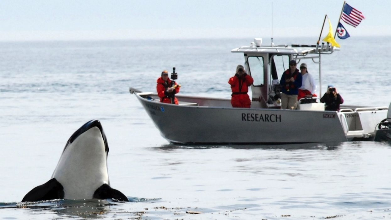 With Just 76 Orcas Left, Washington Gov. Orders Protections for Beloved Killer Whales