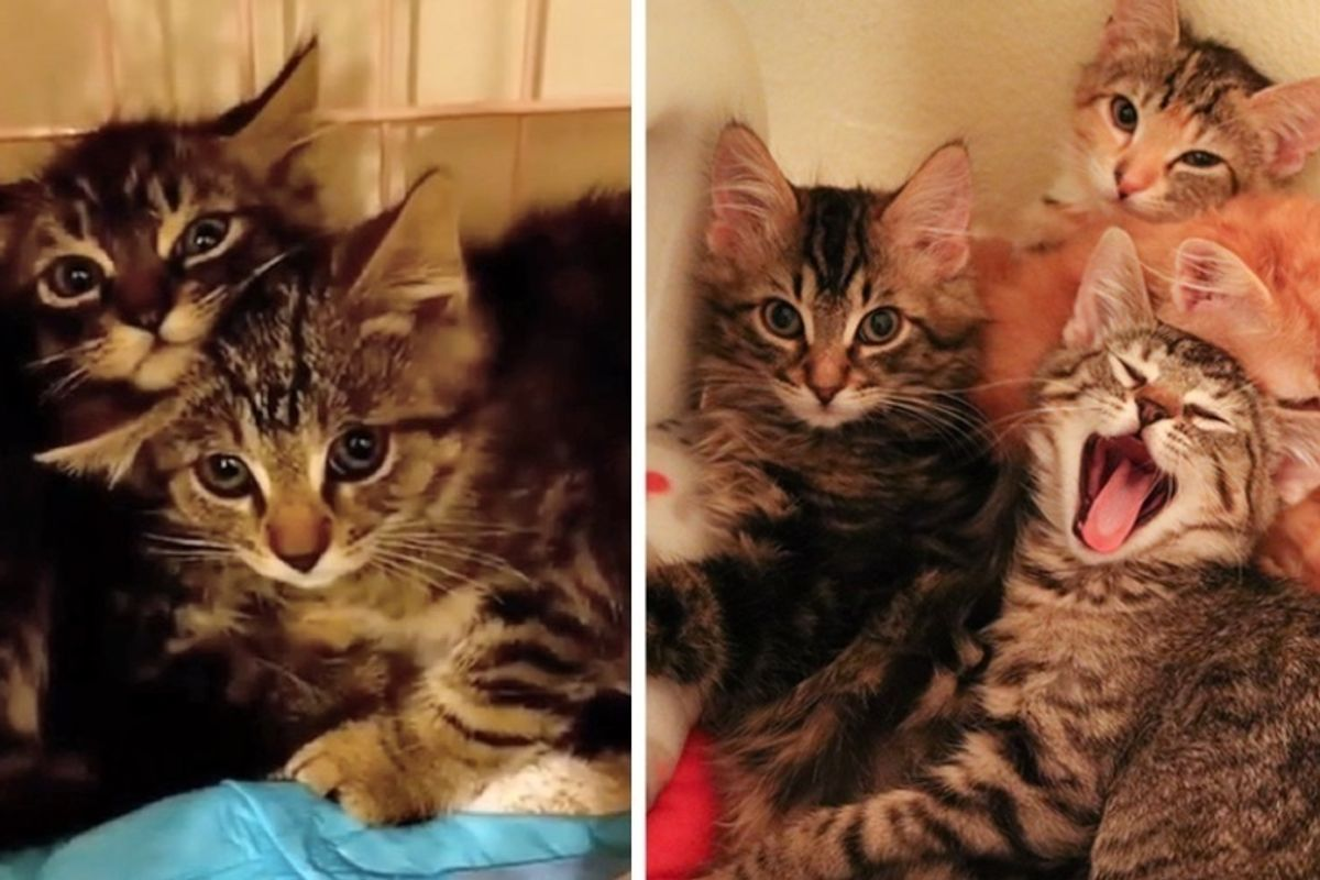 Feral Kittens Huddled Up in Fear Until They Discovered Cuddles - They Can't Stop Purring.