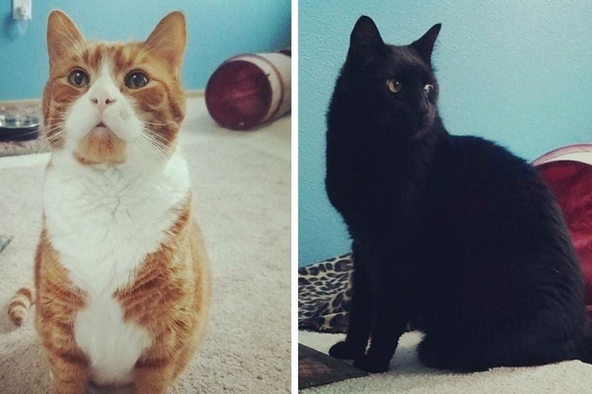 Couple Travels Across Border to Give 2 Bonded Senior Cats a Home After the Kitties Have Been Waiting for Nearly a Year.