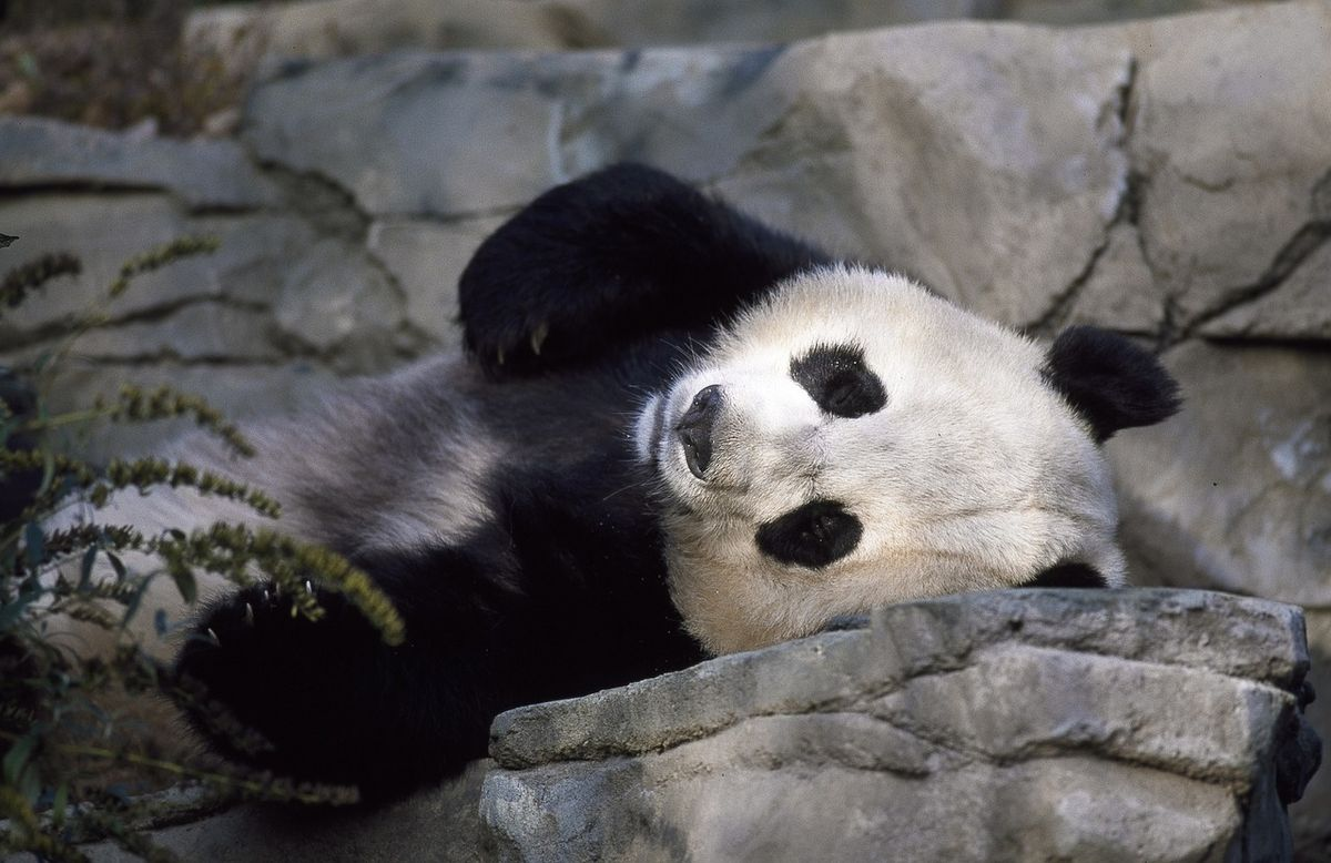 Panda Facts That Might Surprise You