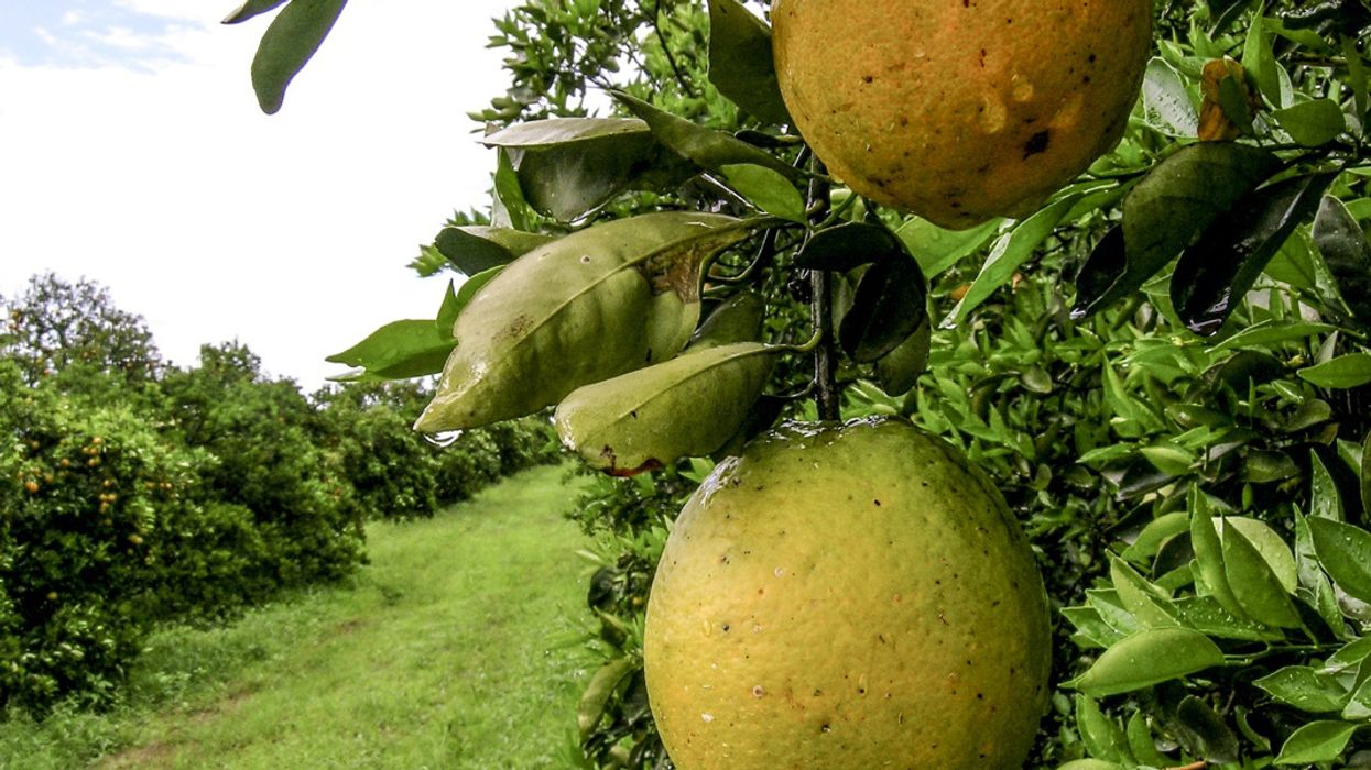 Scientists Have No Idea How to Fight Citrus Greening