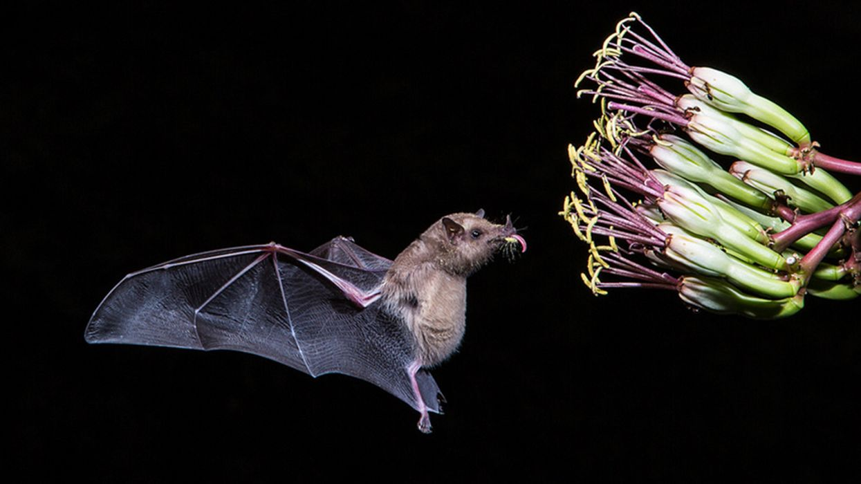 First Bat Removed From U.S. Endangered Species List Helps Produce Tequila
