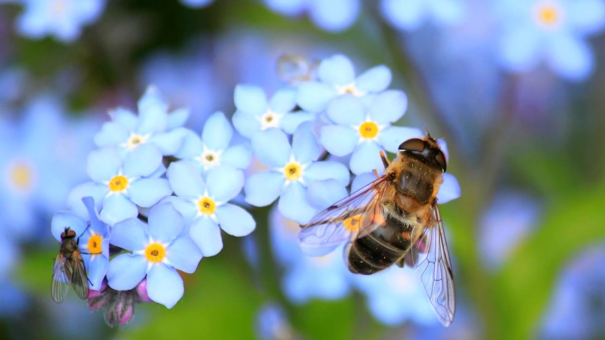 Honeybees Are Struggling to Get Enough Good Bacteria