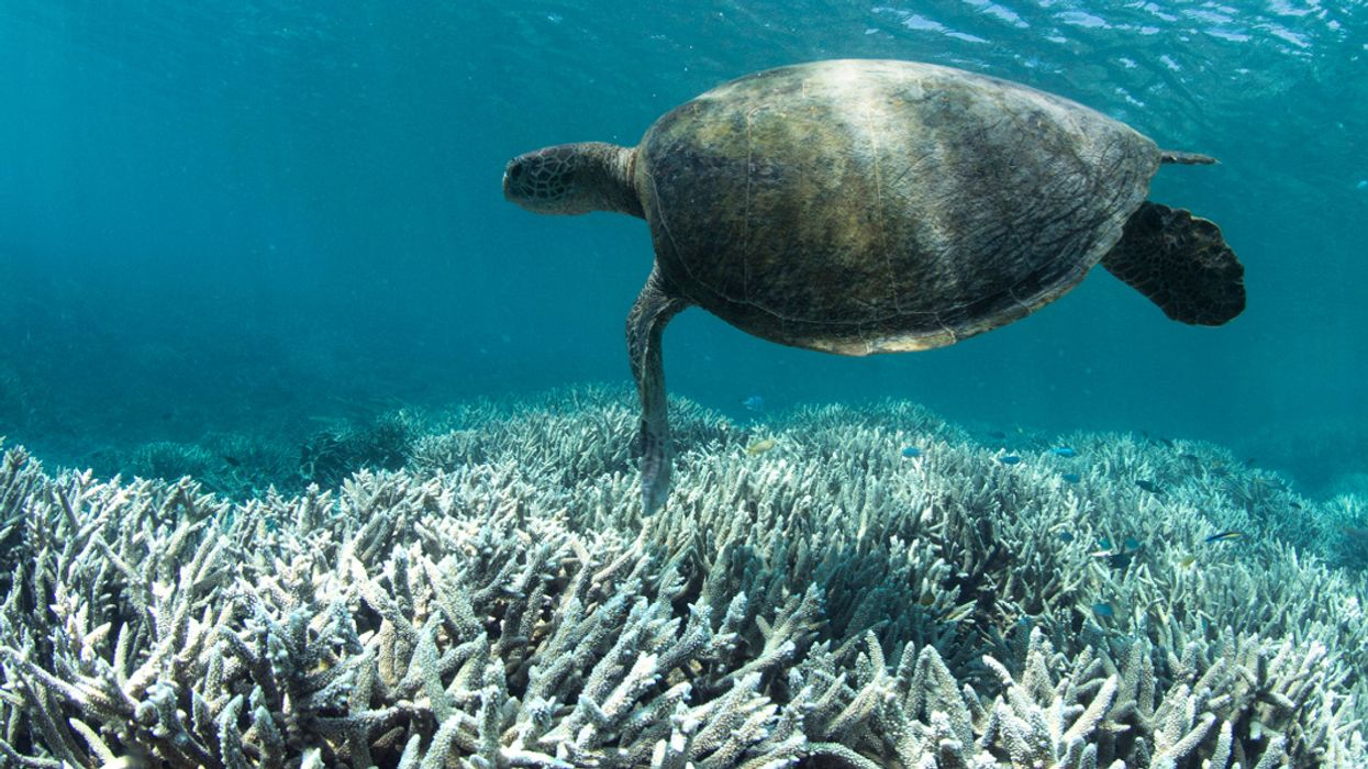 Great Barrier Reef at 'Unprecedented' Risk of Collapse After Major Bleaching Event
