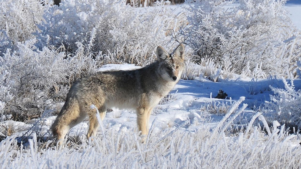 Wildlife Services Killed 1.3 Million Native Animals in 2017, Including Coyotes, Bears, Wolves