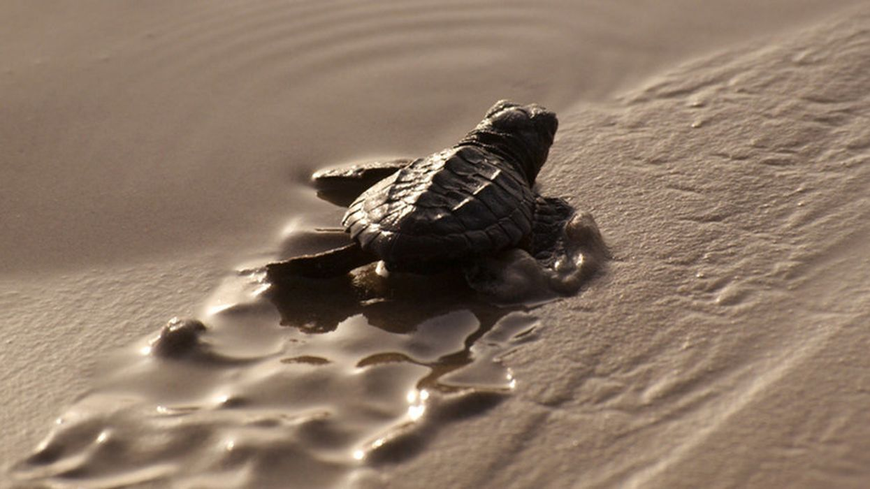 For Baby Sea Turtles, Beaches Become Safer While Ocean Hazards Mount
