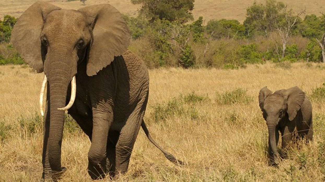 Great News for Elephants: UK to Introduce Legislation Banning Its Ivory Market