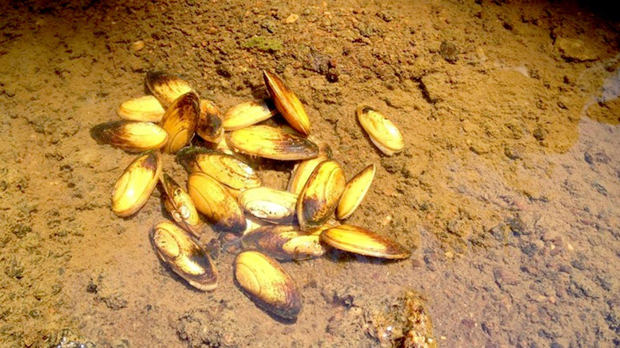 Valuable Mid-Atlantic Mussel Officially Listed as Threatened