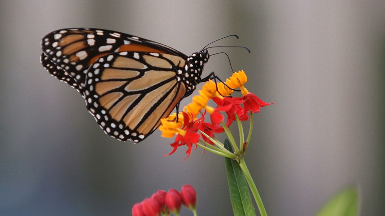 Climate Change and Invasive Milkweed Could Make Toxic Cocktail for Monarchs, Study Finds