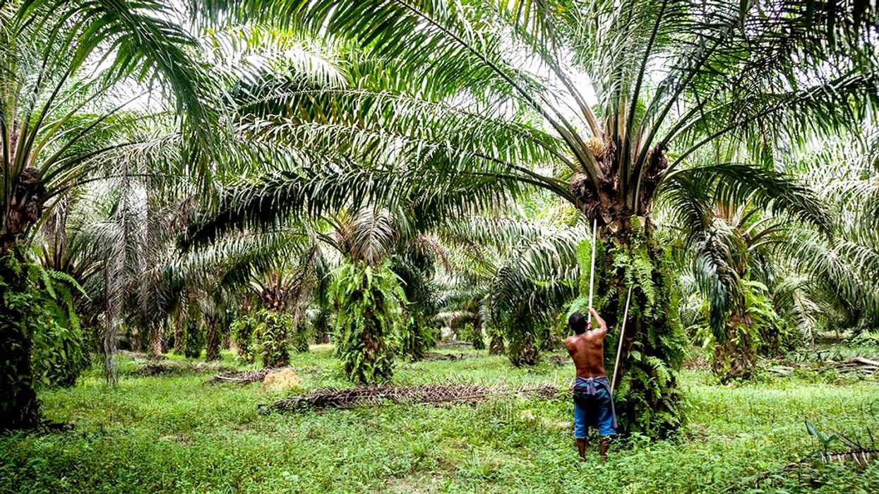 Palm Oil Banned by Major UK Supermarket