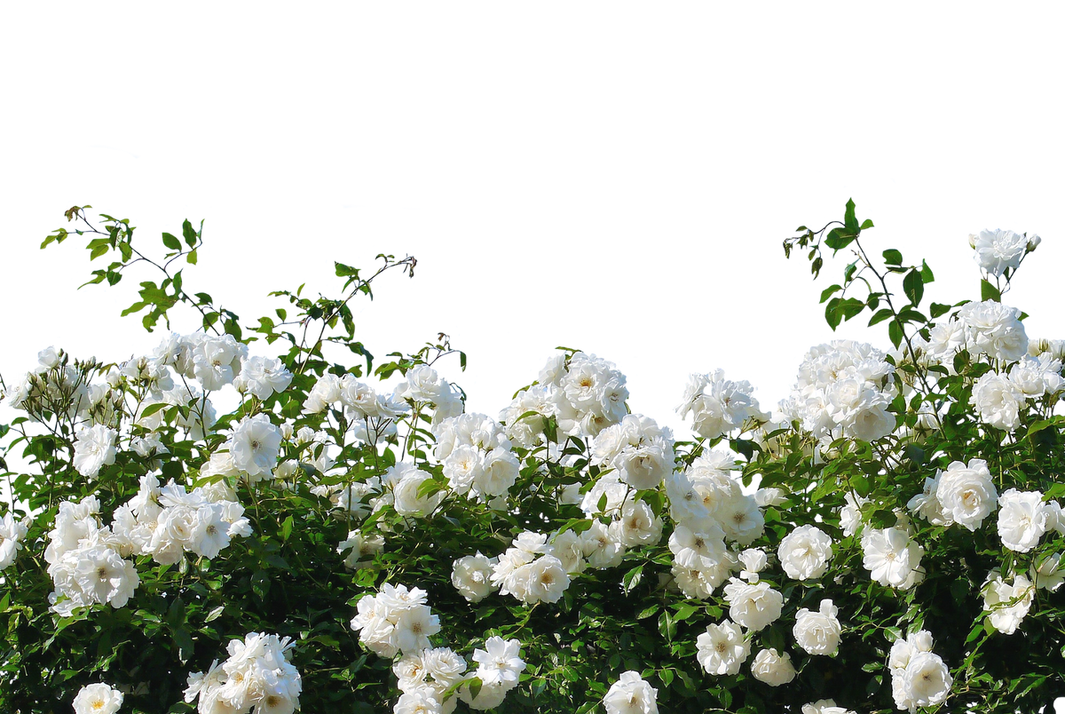 Texas Hillel Continues The White Rose Society's Memory Through 10,000 Roses
