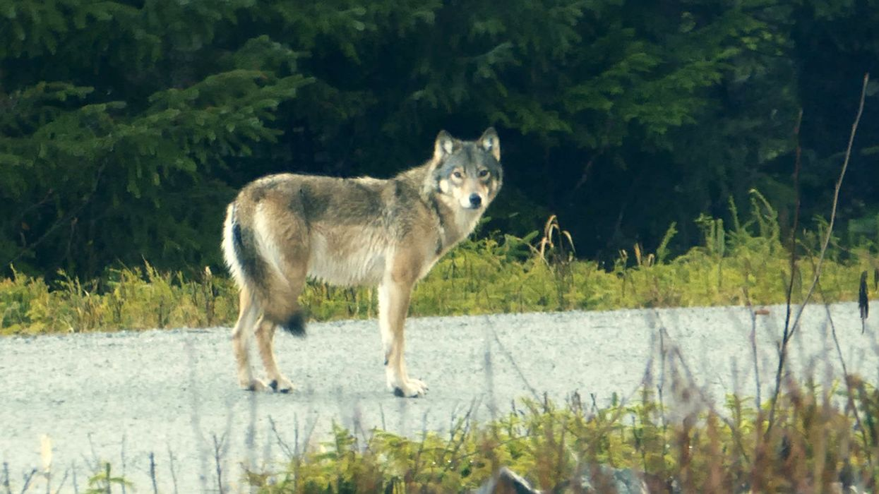 Wolves Are Losing Ground to Industrial Logging in Southeast Alaska