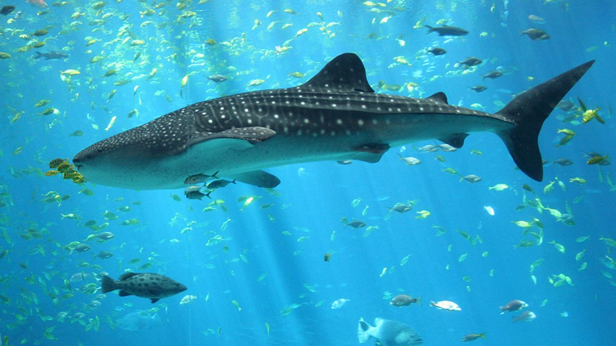 Longest Recorded Whale Shark Migration