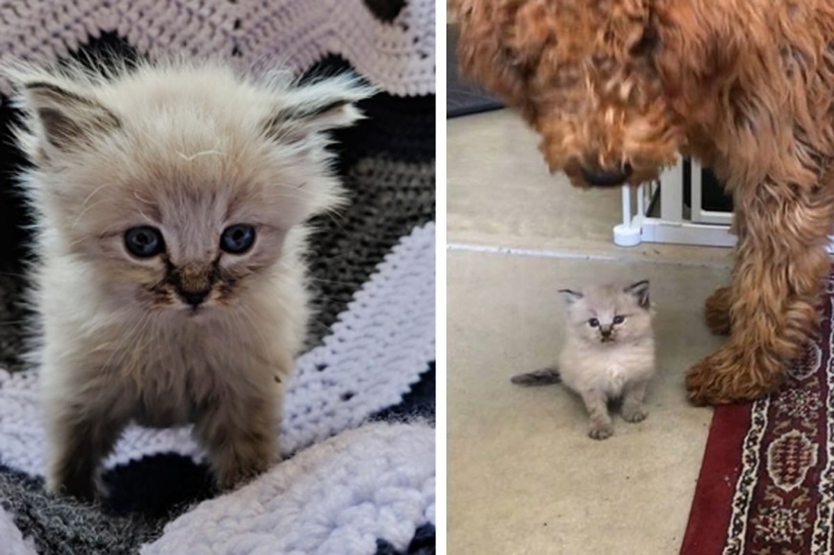 Kitten Found in a Yard All Alone, Now Never Wants to Leave Her Human's Lap