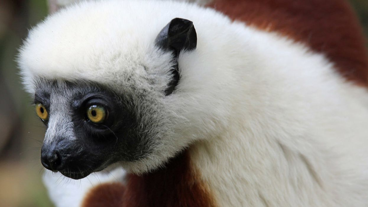Sifaka Lemurs Listed as 'Critically Endangered' Amid Mysterious Die-Off