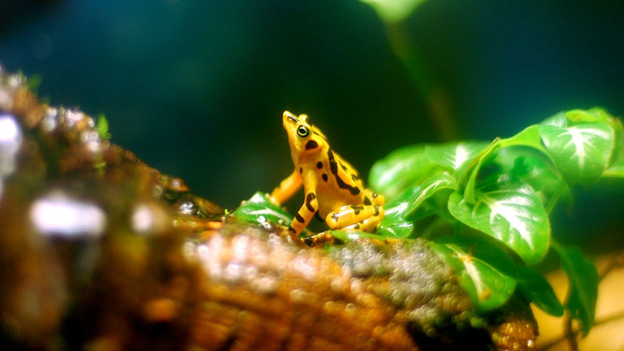 Some Tropical Frogs May Be Developing Resistance to a Deadly Fungal Disease – But Now Salamanders Are at Risk