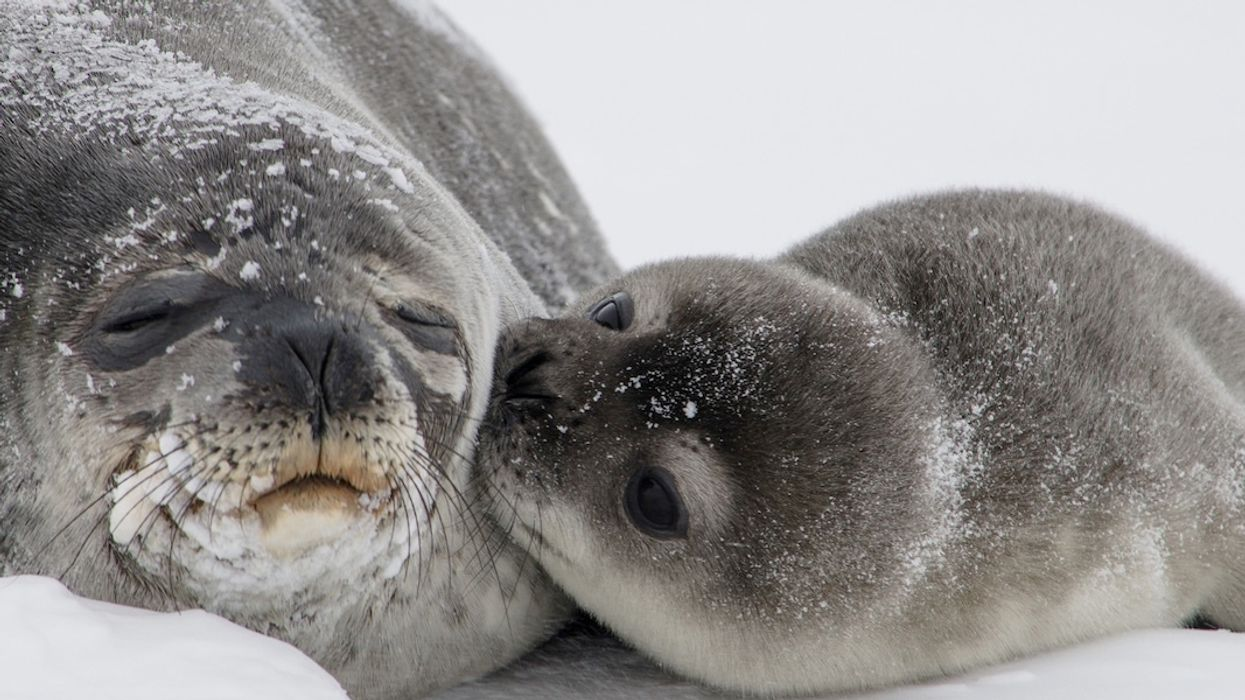 Antarctic Seals Help Scientists Track Melting Ice Sheet