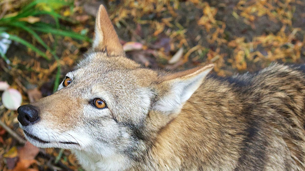 One of World's Most Endangered Wolf Species Could Go Extinct in 8 Years