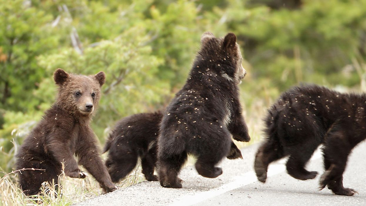 Yellowstone Grizzly Bears to Lose Endangered Species Protection, U.S. Fish & Wildlife Service Confirms