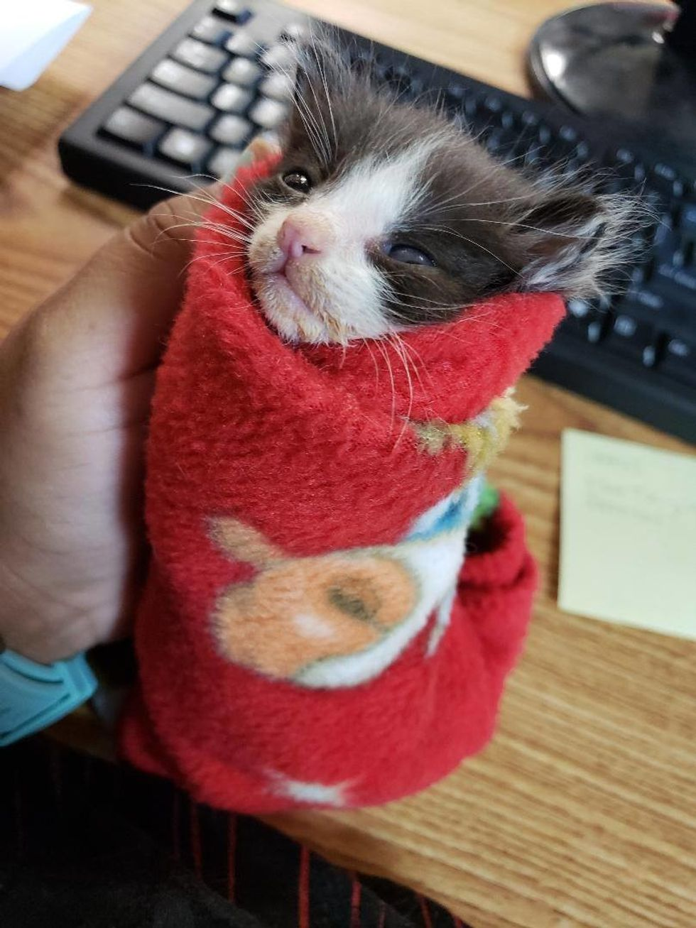 Runty Kitten Rejected By His Cat Mom Finds Comfort Swaddled In Blanket Love Meow
