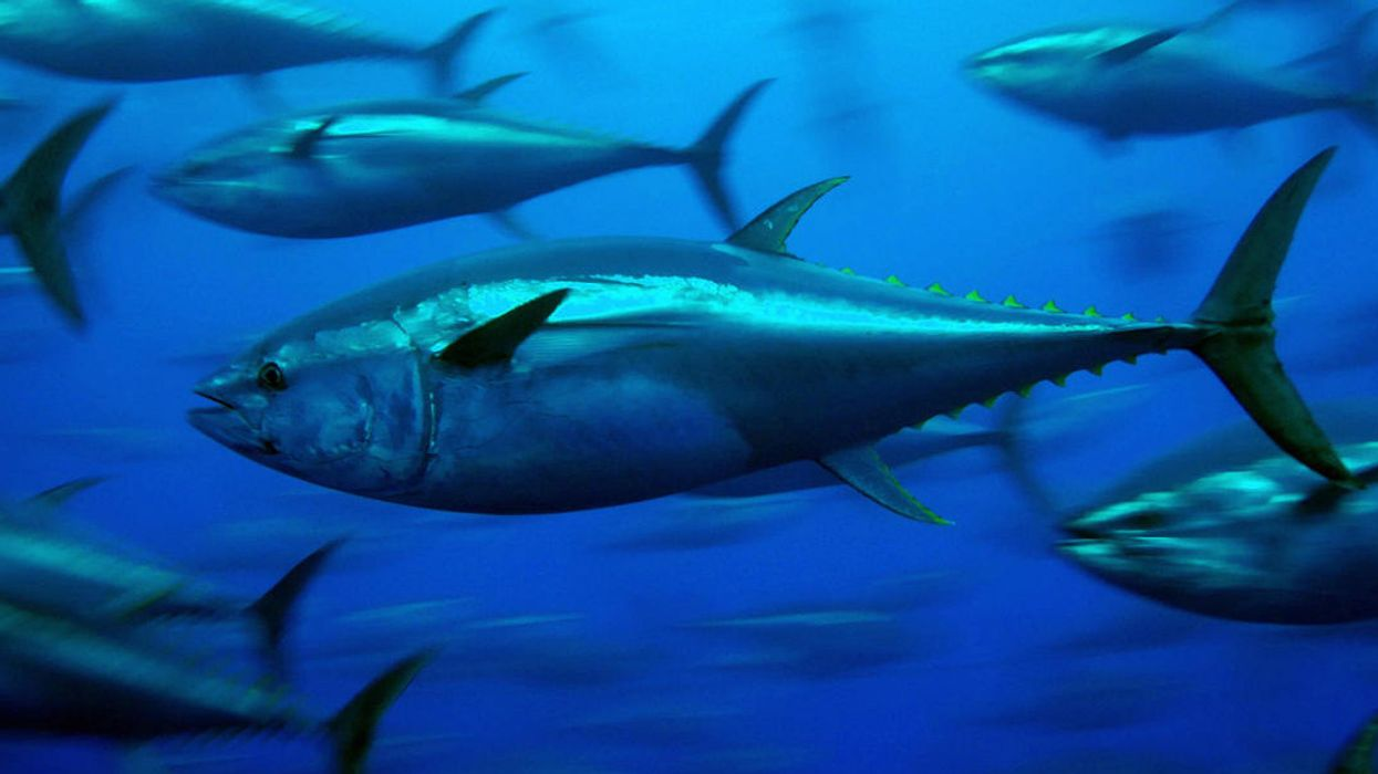 On World Tuna Day, Let's Fix Oversight of Tropical Species