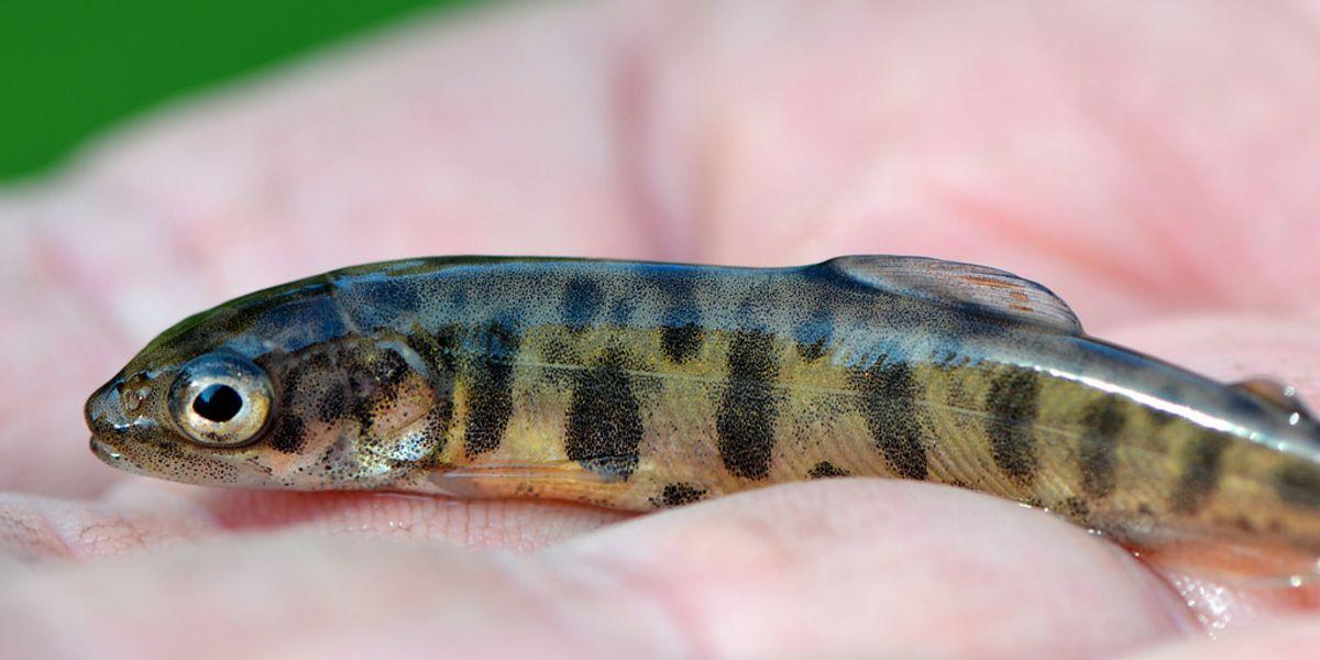 Fish on Prozac prove anxious, antisocial, aggressive