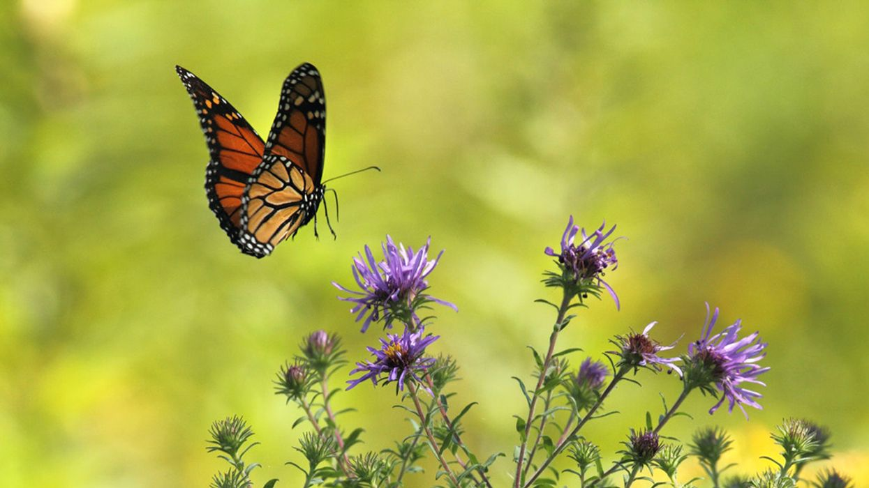 All About Monarchs: The Royals of the Butterfly World
