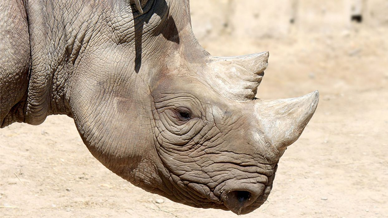 Black Rhinos Return to Chad 50 Years After Being Wiped Out
