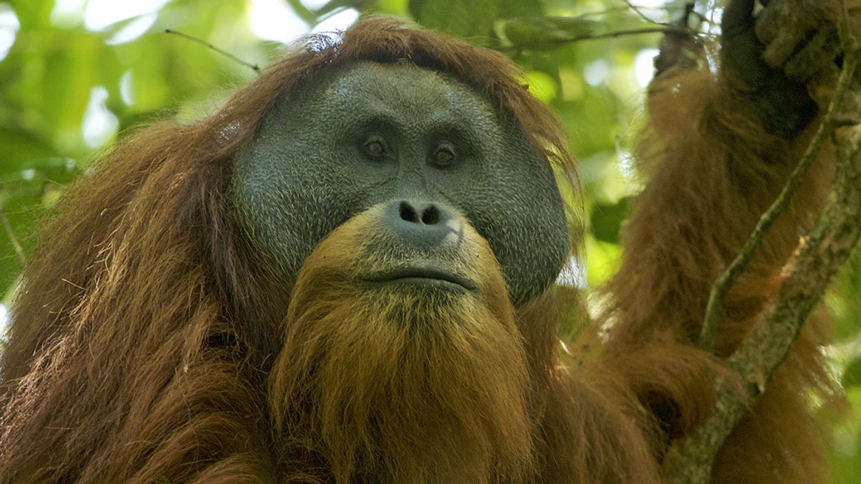 New Dam Could Be 'Ecological Armageddon' for Rare Orangutan