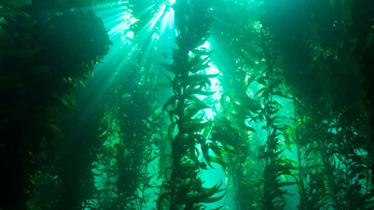 Climate Change Threatens Kelp Forests With Invasions of Weeds