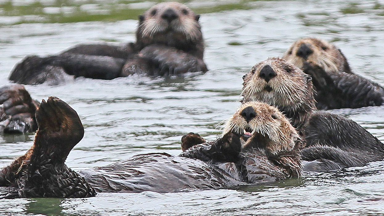 Sea Otters, Alligators and Other Major Predators Are Reclaiming Historic Niches, Study Finds