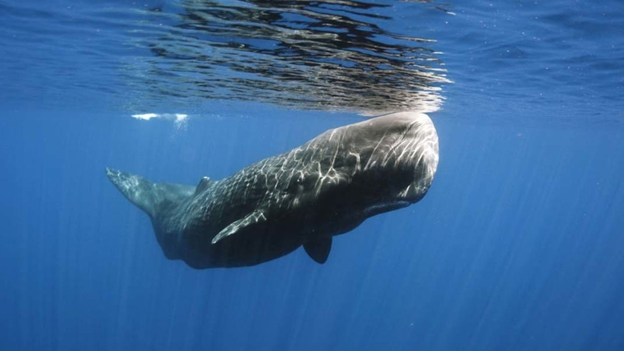 40-Ton Sperm Whales Killed by Plastic Bags in Mediterranean