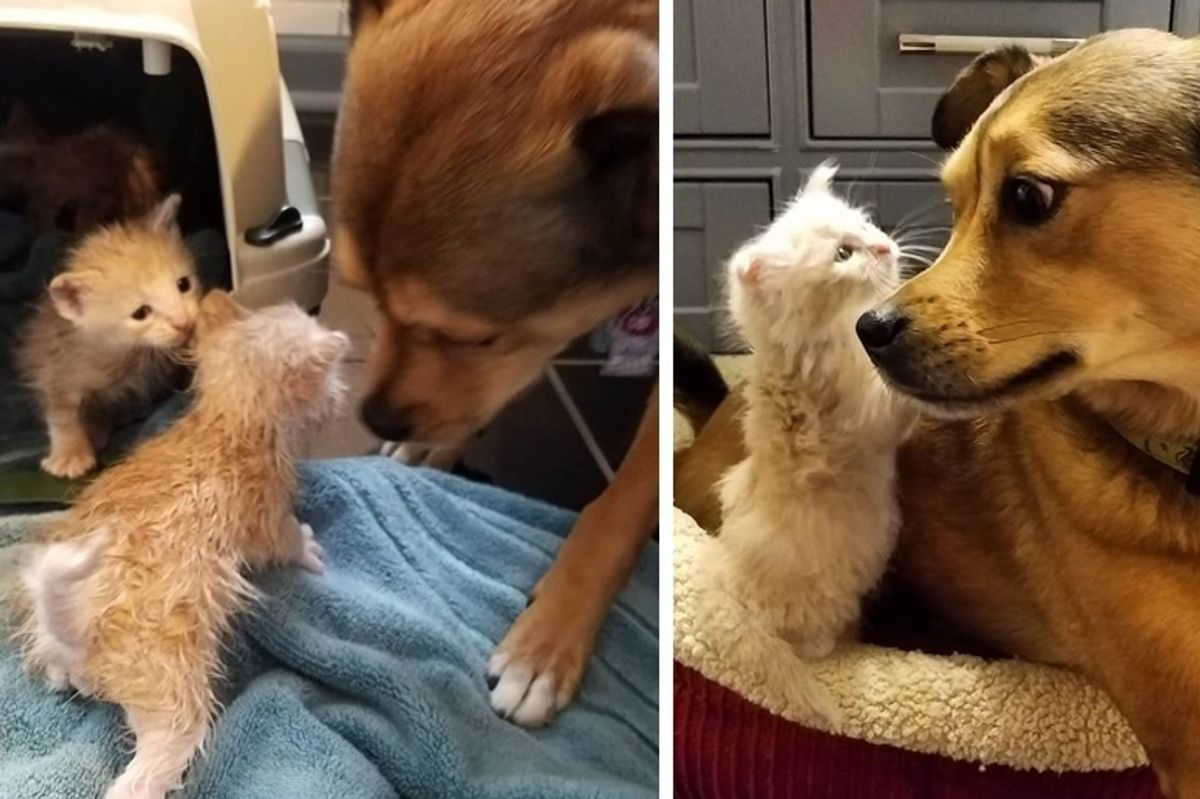 Dog Helps Rescue Kittens On Rainy Day and the Kitties Think He's Their Dad