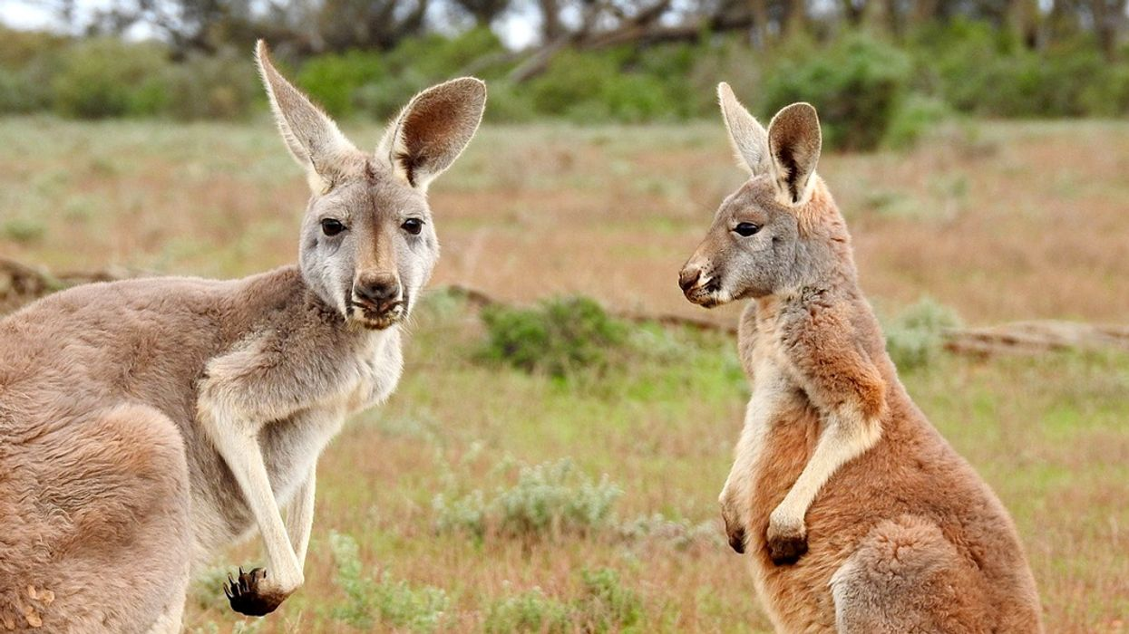 Controversial Kangaroo Cull Underway in Canberra