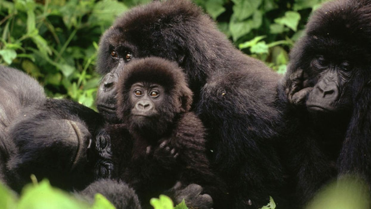 Mountain Gorilla Population Surpasses 1,000, Despite Challenges