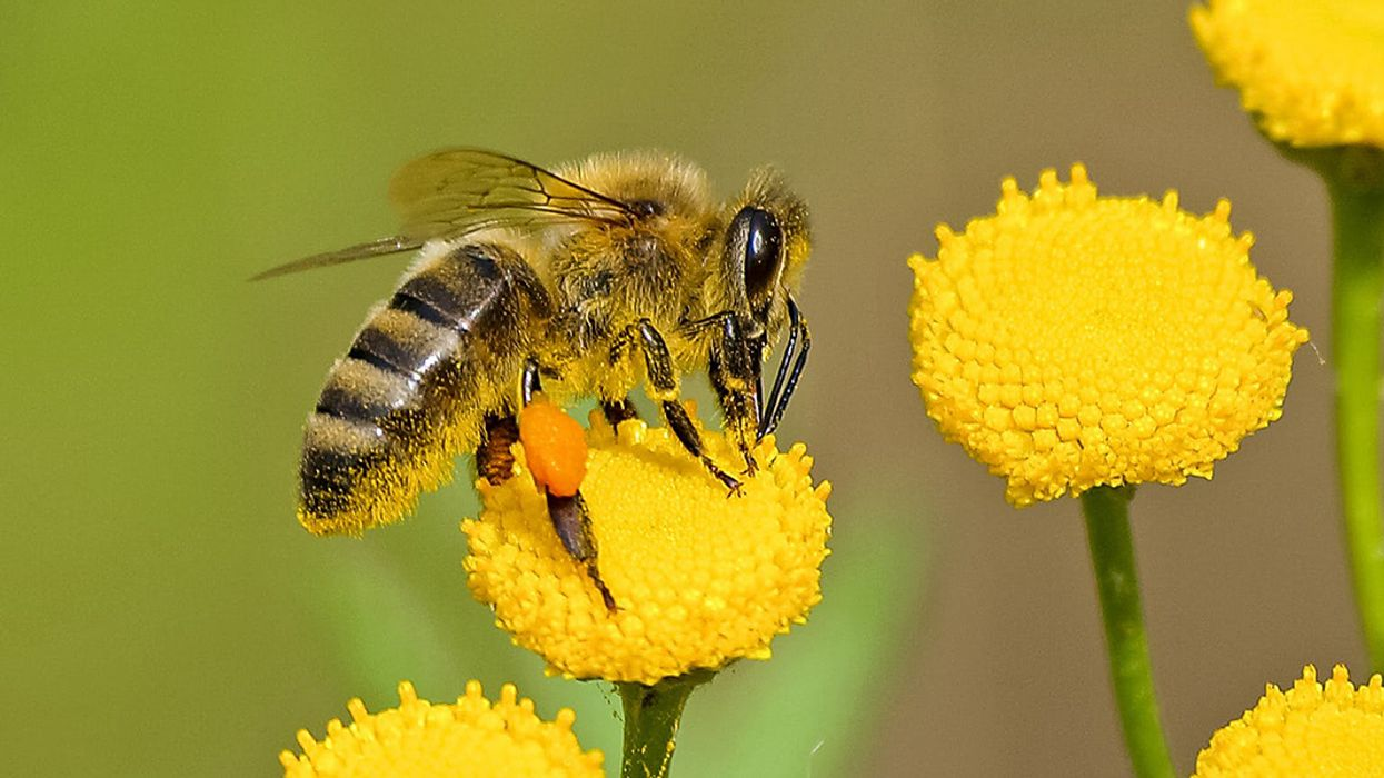 How the Honeybee Buzz Hurts Wild Bees