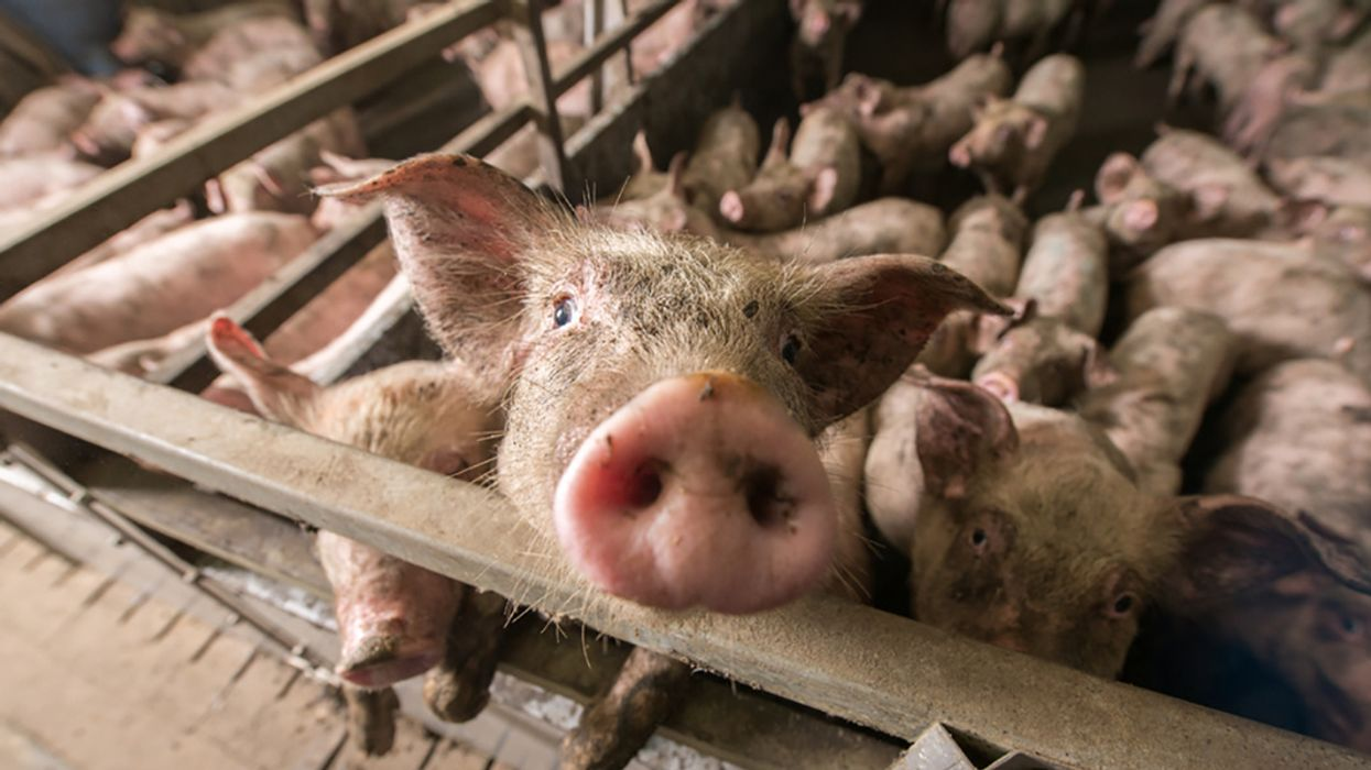 The Pork Industry's Role in the Future of Modern Medicine