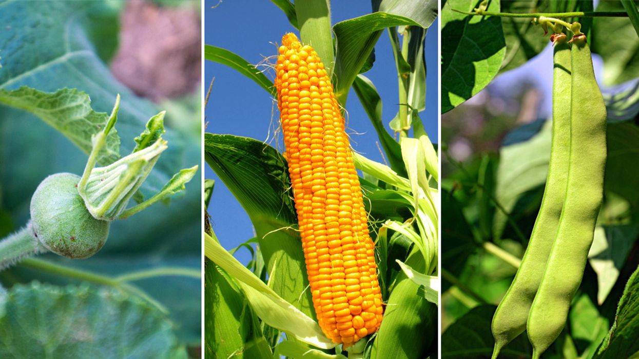 Three Sisters Garden — How to Plant Corn, Squash & Beans Together
