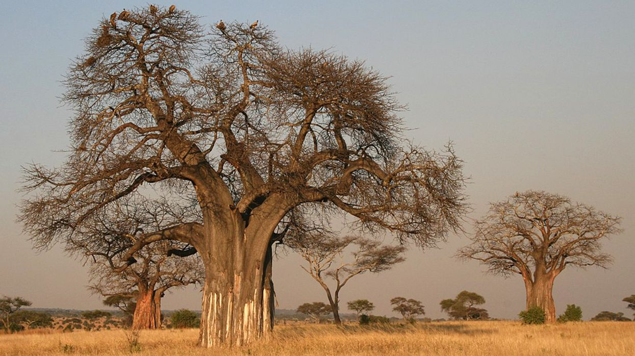 Africa's Iconic Baobabs Are Dying, Including World's OIdest Flowering Tree